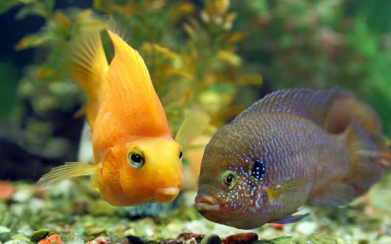 cichlides - treating itch in the home fish tank