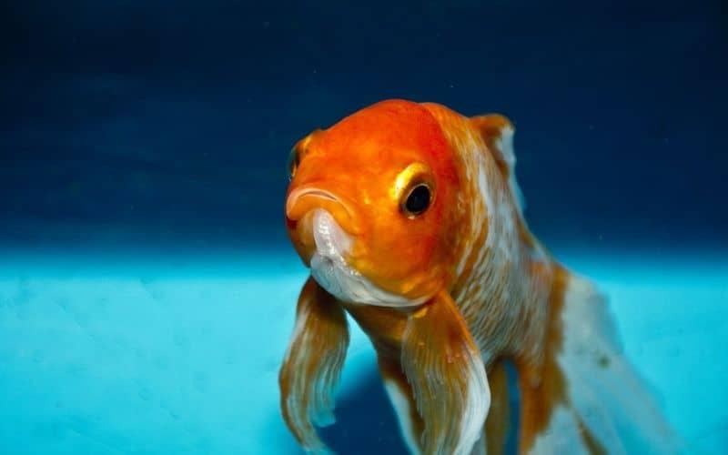 mixing goldfish and tropical fish