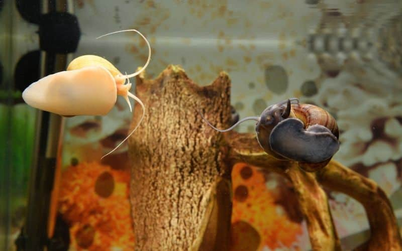 two snails in a fish tank
